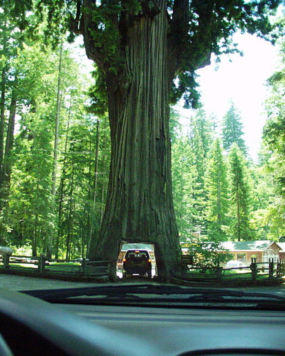 "The ""drive through tree"""