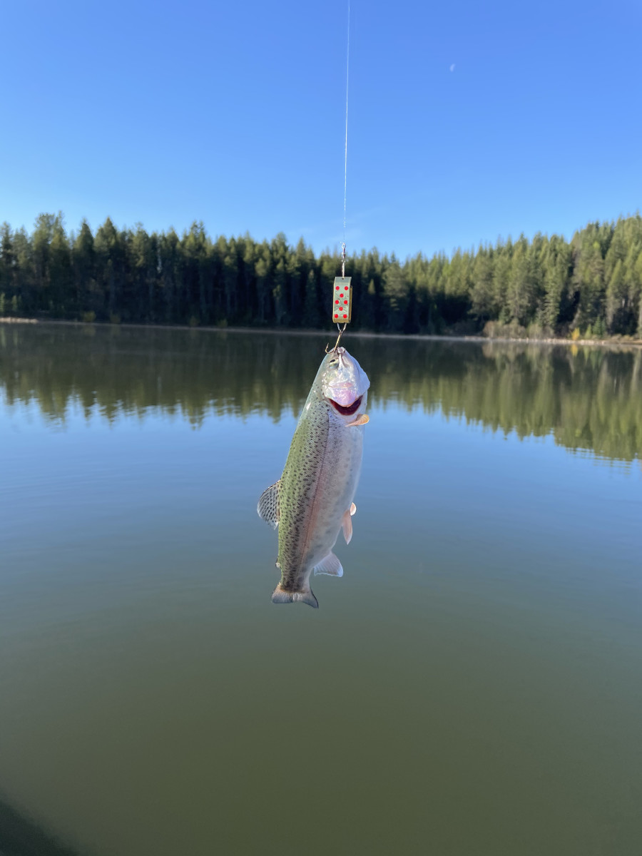 Rainbow caught on Wyoming Wonder (Jake's Spin-A-Lure) 3 May 2021