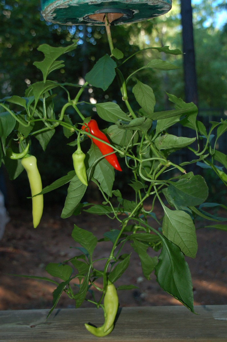 Great ingredients are the foundation of this great dish! Banana peppers growing out back!