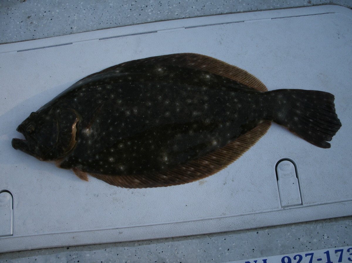 Typical South Jersey Fluke.