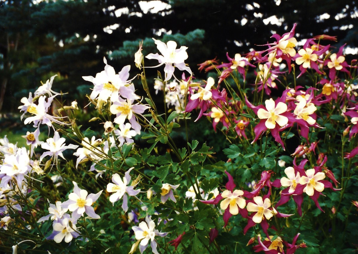 Some beautiful columbine flowers on the grounds of Grandlake Lodge.
