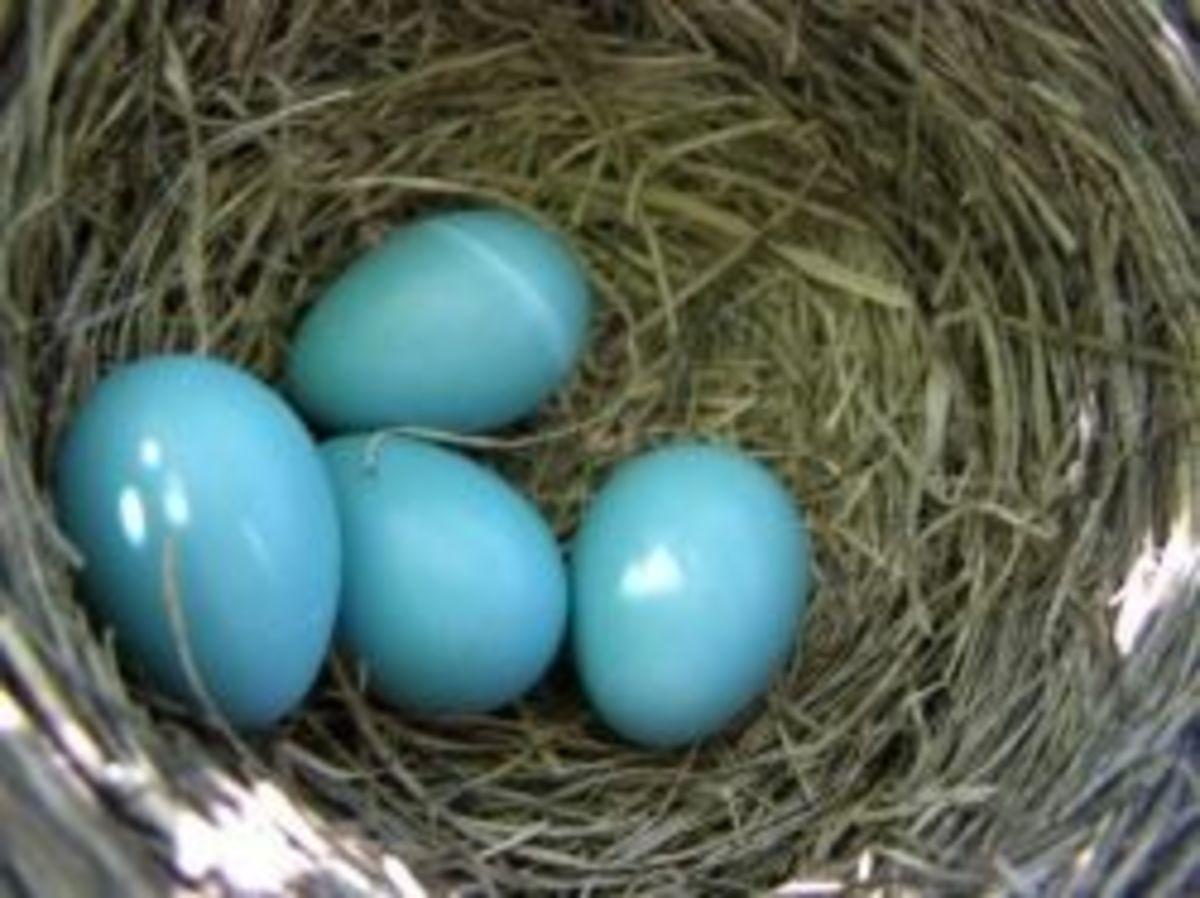 Backyard Baby Robins
