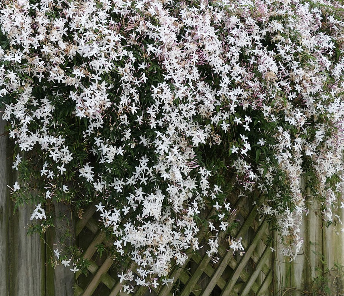 Pink Jasmine, Jasminum polyanthum, native to China. Highly fragrant. Can grow up to 20 ft. long. In warmer climates it will bloom year round.
