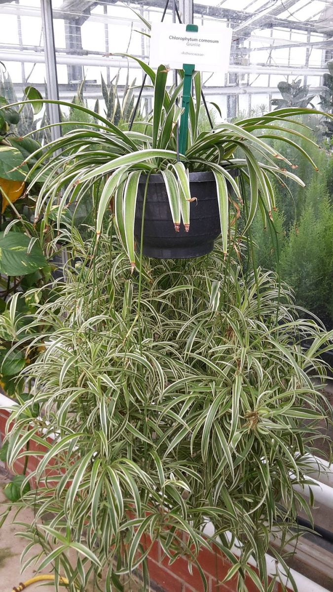 You can imagine how heavy this plant must be when watered. It's planted in plastic and the soil is likely highly porous—good potting soil—but the plant, itself, weighs a lot.