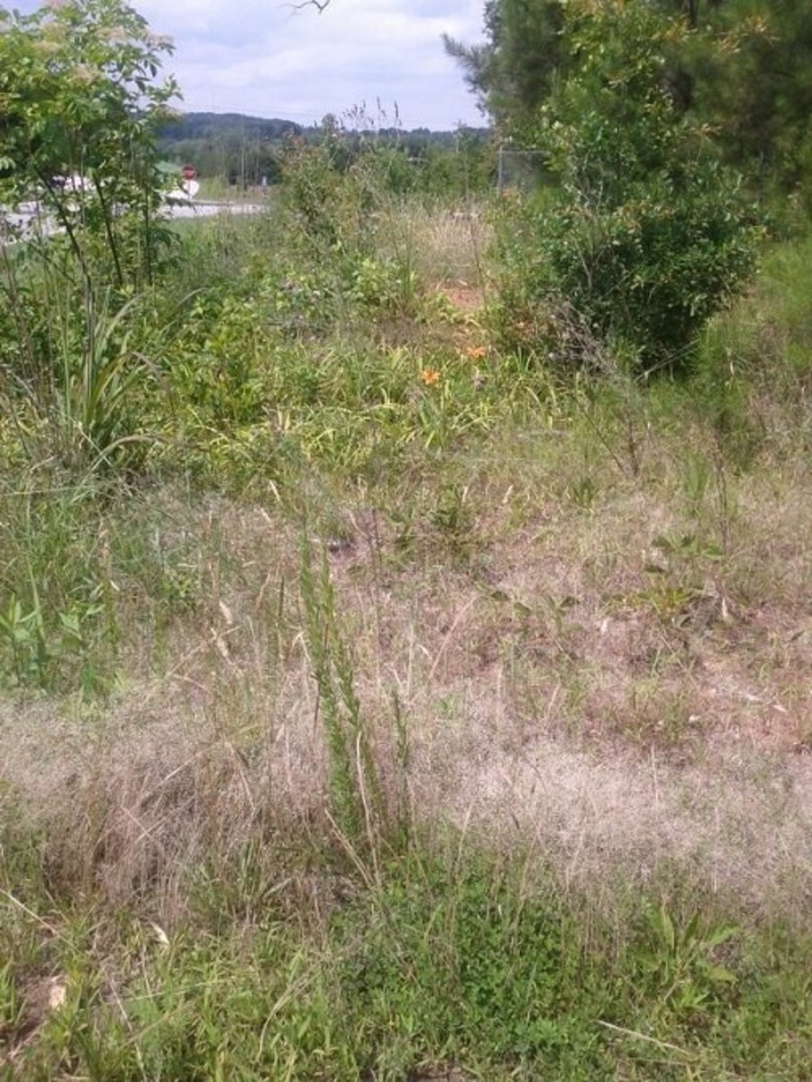 Daylilies in an abandoned lot