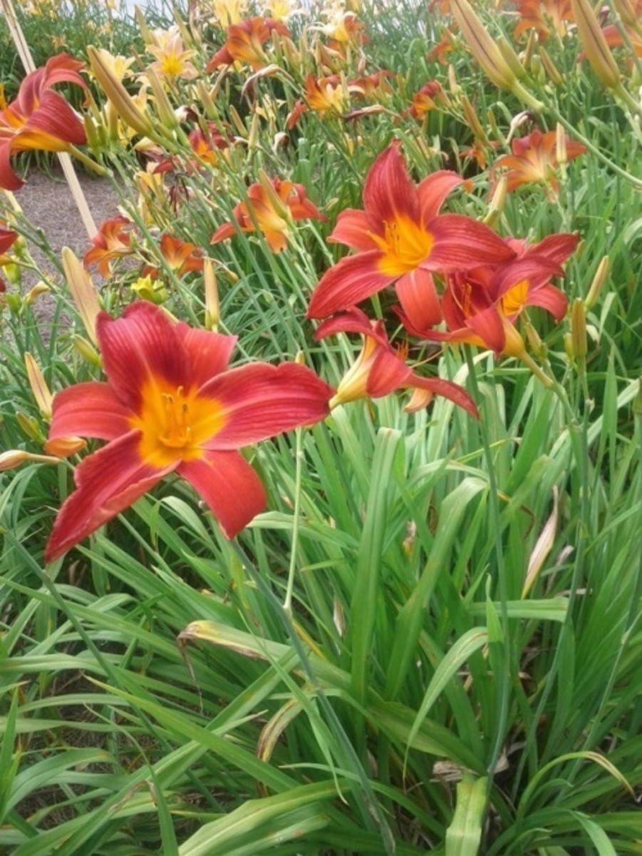 Daylilies are the perfect perennial.
