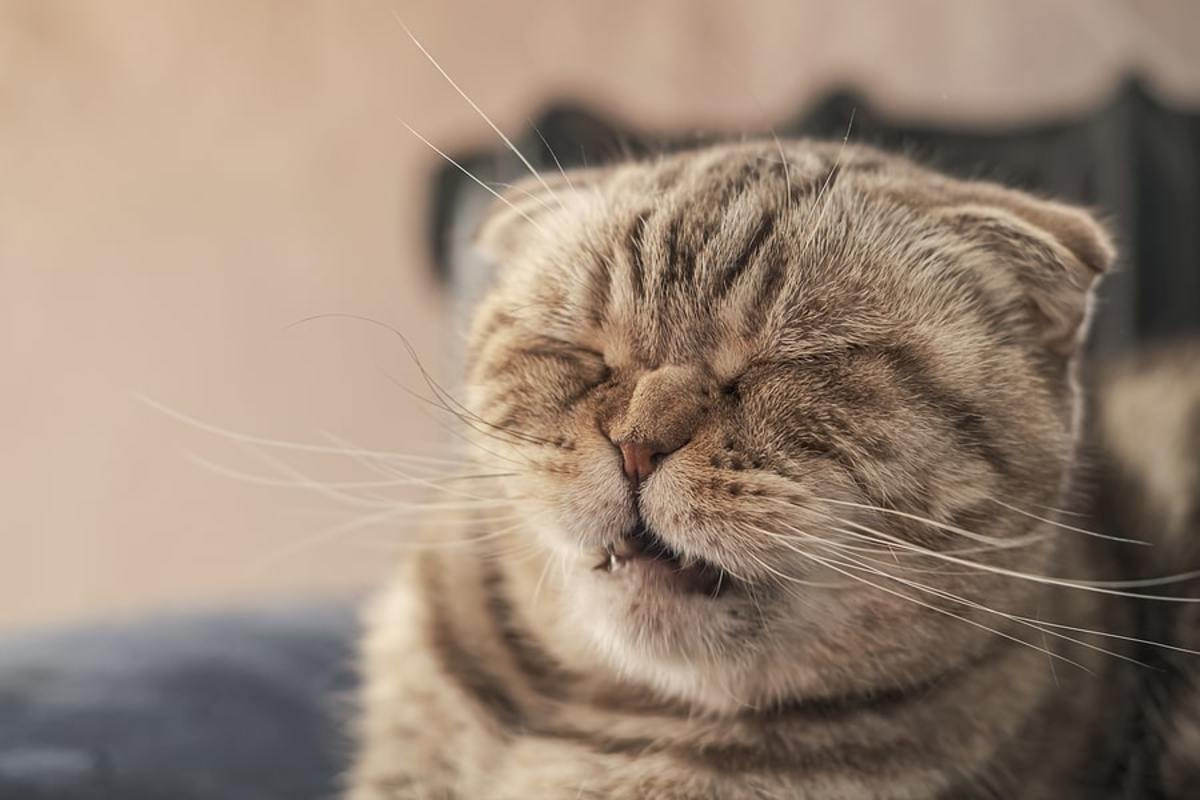 sneezing-cat