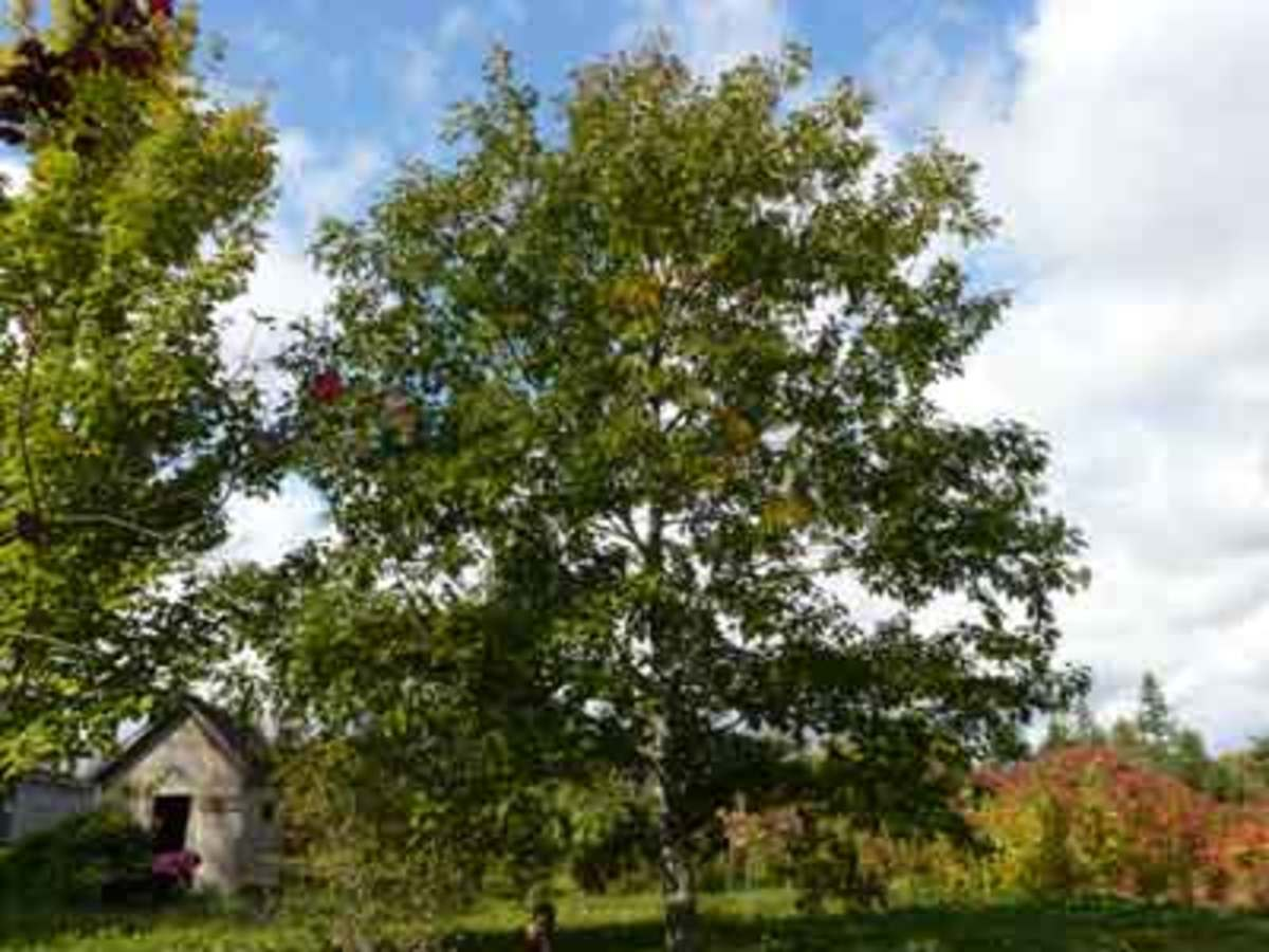 The red oak tends to not spread out horizontally as the white oak, but they can get large as well. The nuts from red oak need more processing than the white counterpart.