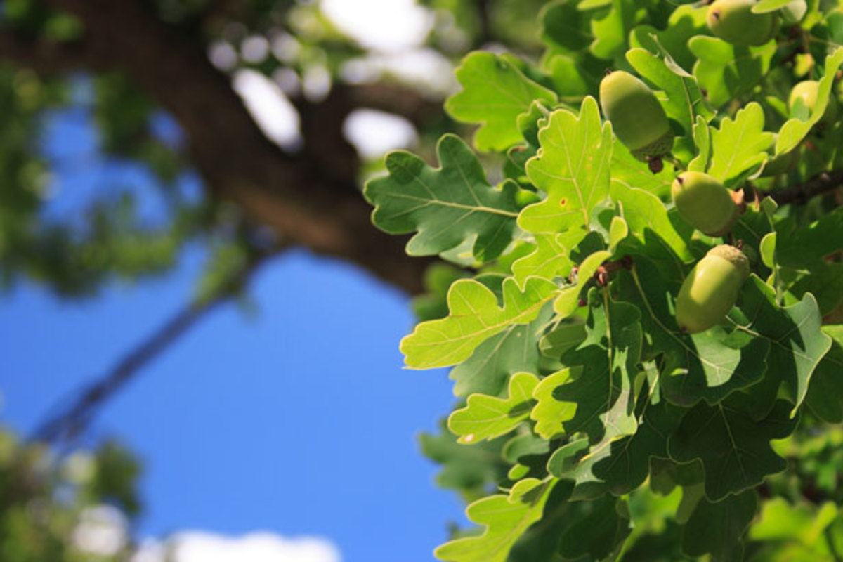 If you look carefully at summers end, you can see if there are acorns or not that are ready to drop. By looking at the leaves, you can tell this is a white oak with the more desirable sweeter nuts with less tannin.