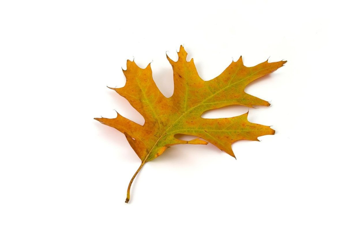 By contrast, red oak leaves are much more pointed than the rounded white oak.