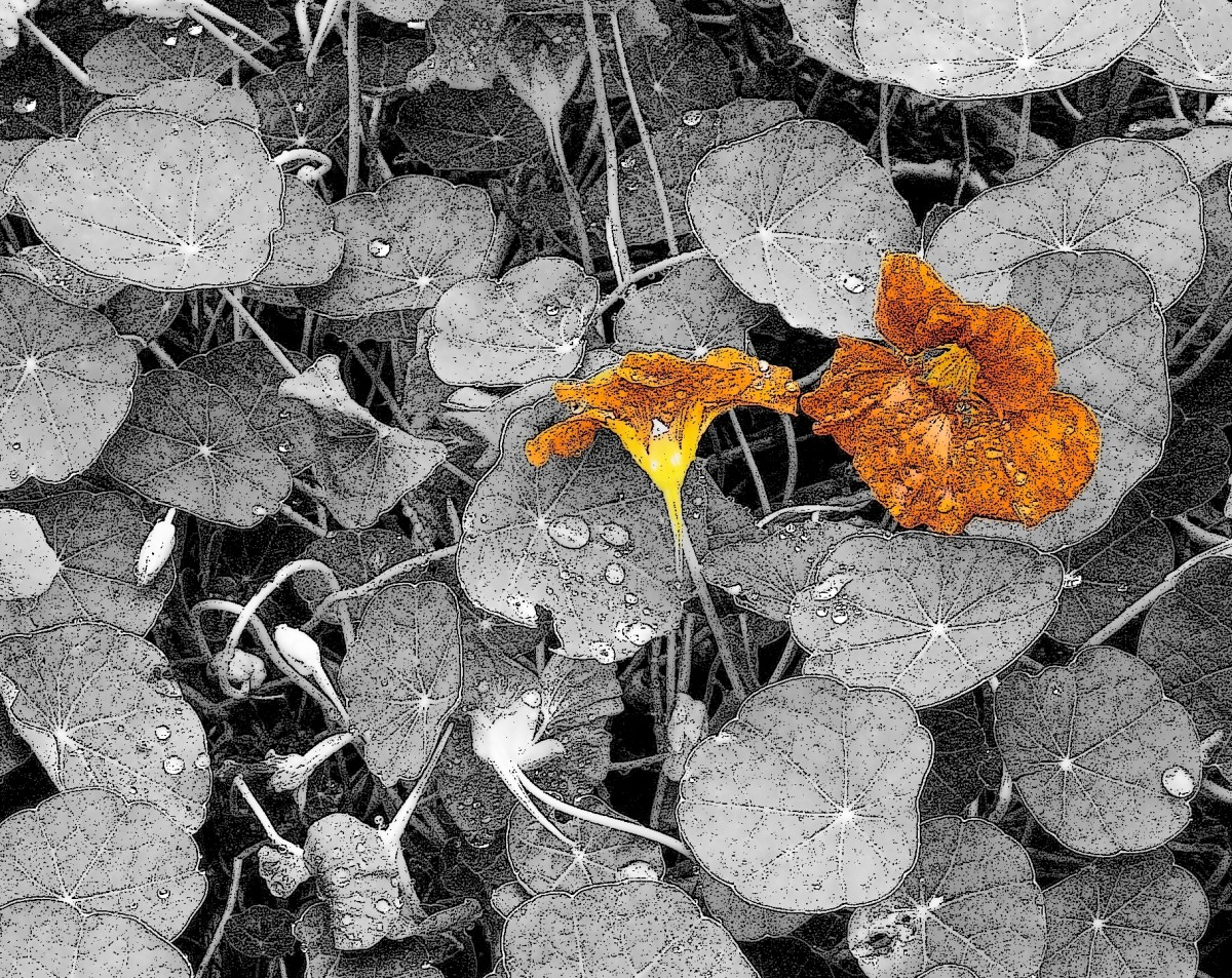 Orange nasturtium flowers are pretty in art projects as well.