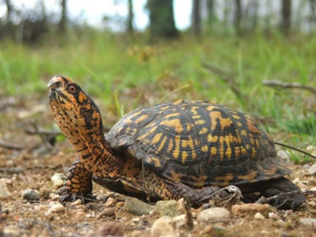 the-snapping-turtle