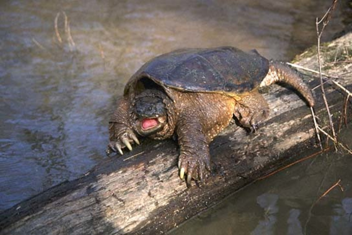 The Snapping Turtle.