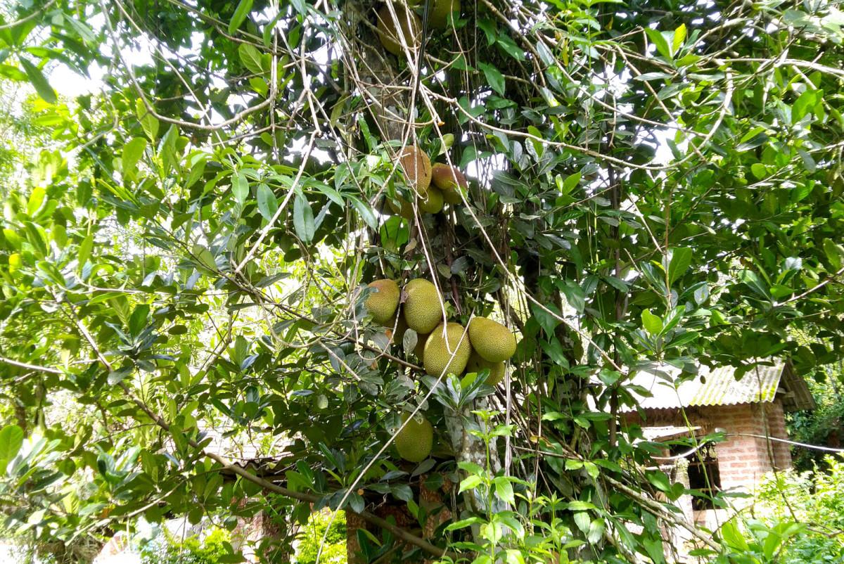 A Jack tree bearing jackfruits