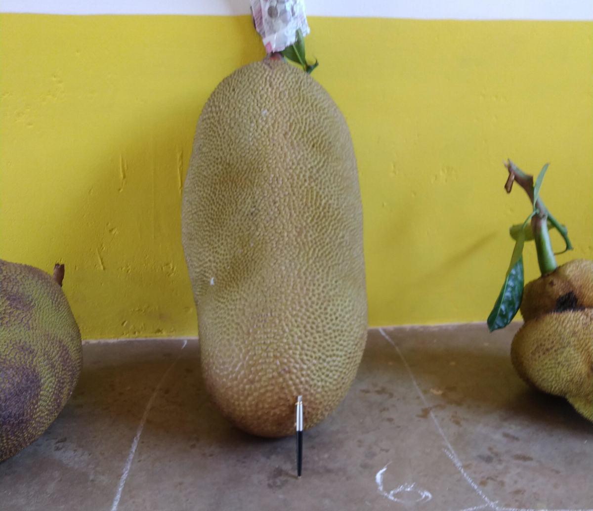 A large elongate jackfruit
