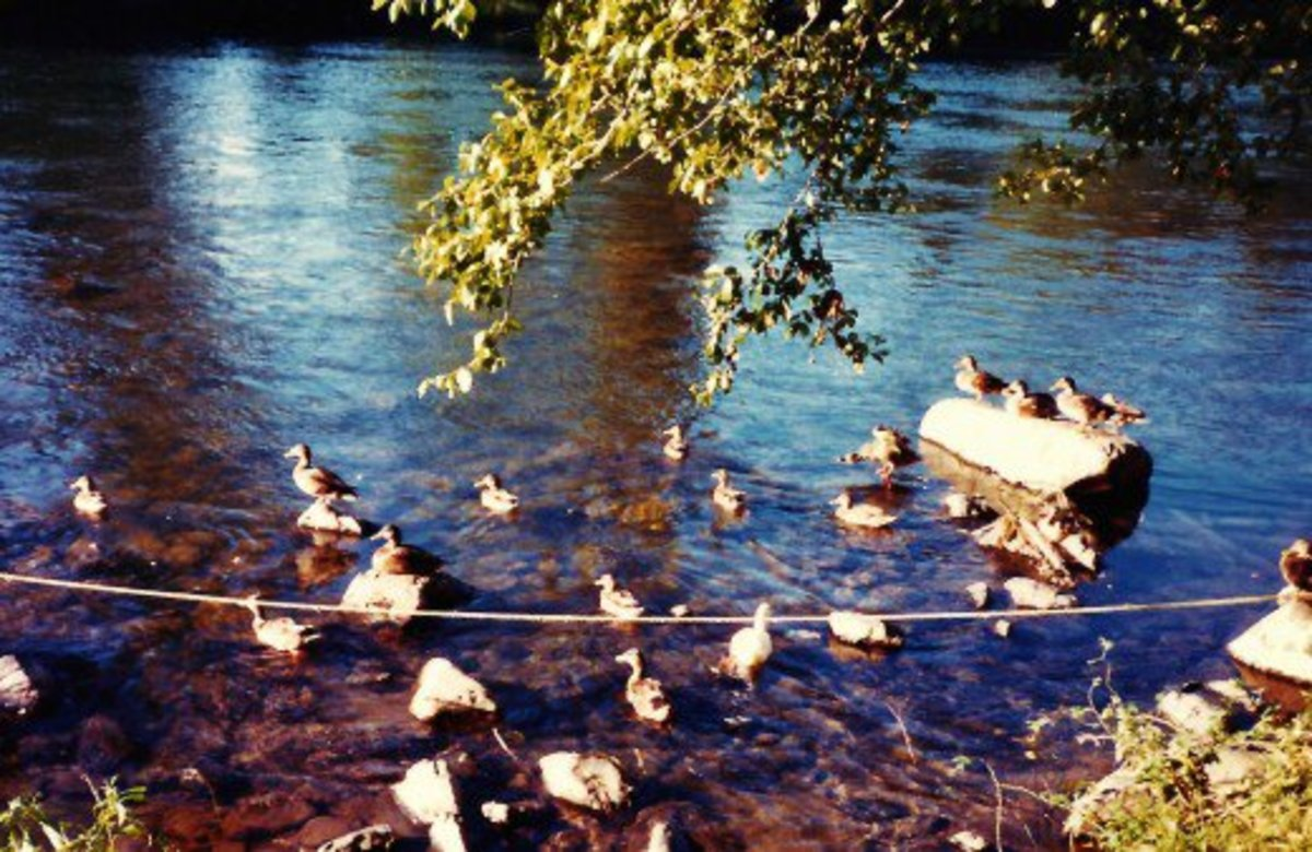 Ducks on the Rogue River