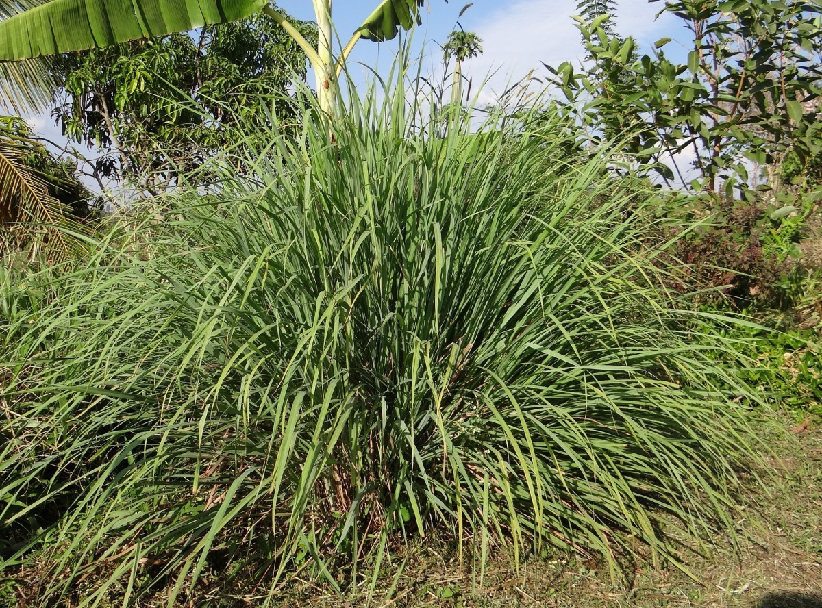 """""""Citronella oil is an essential oil obtained from the leaves and stems of different species of Cymbopogon, commonly known as lemongrass."""" (Wikipedia)"""