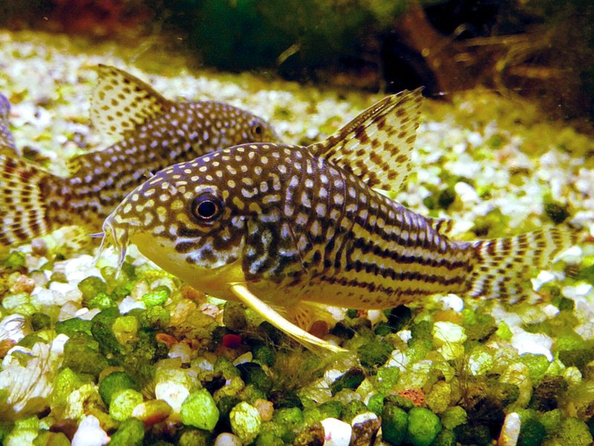 Cory catfish are active little bottom dwellers,