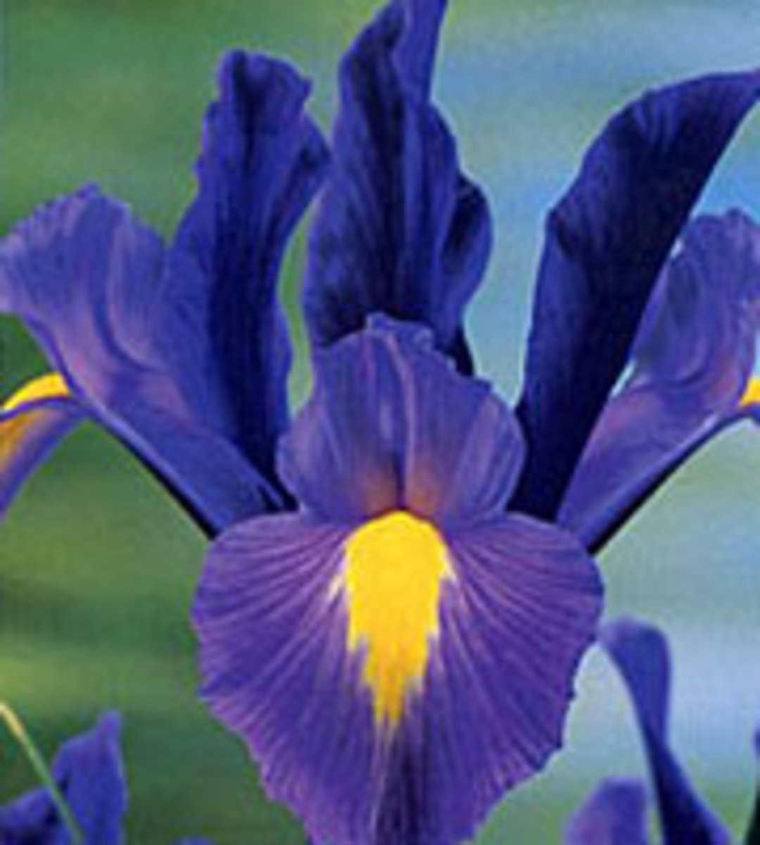 the sapphire Iris