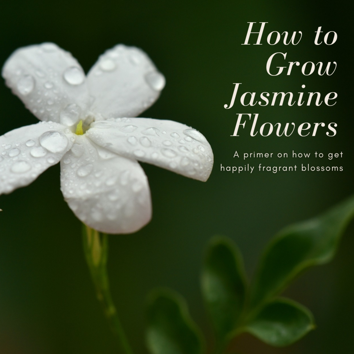 How to Grow Jasmine Flowers
