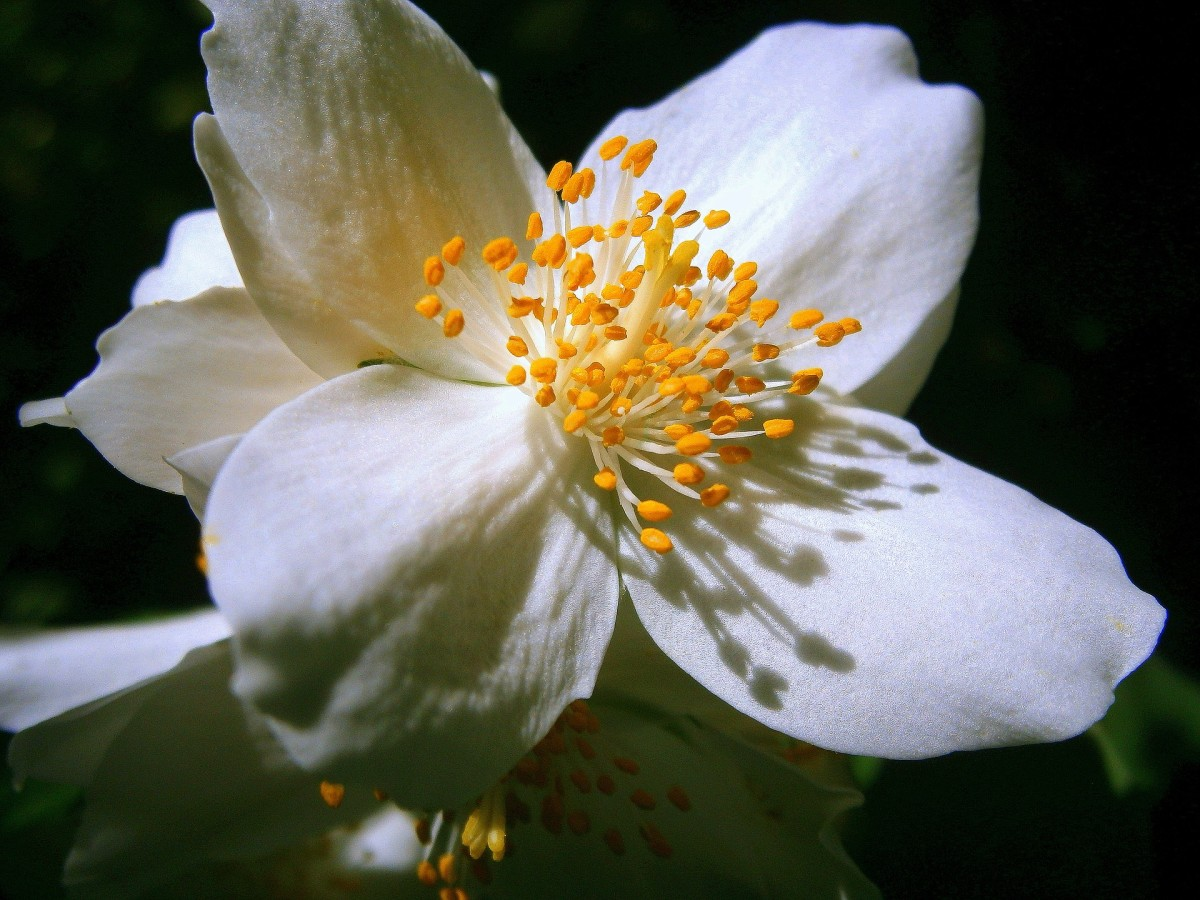 Jasmine flowers have some of the most wonderful scents in nature.