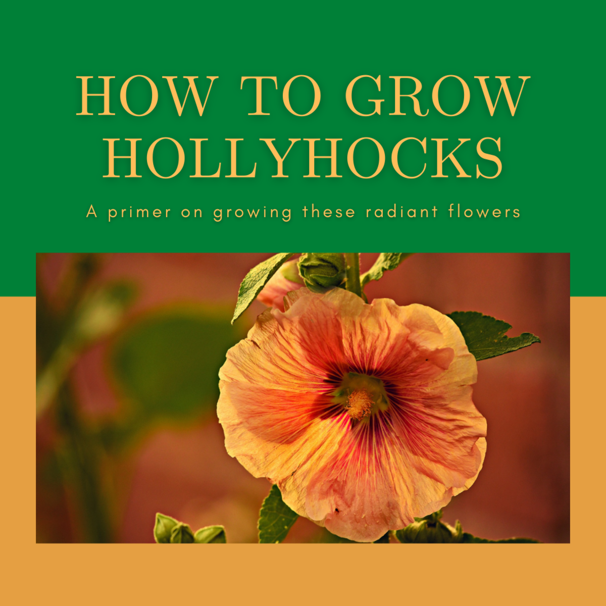 This guide will provide you with all the information you need to grow stunning hollyhock flowers.