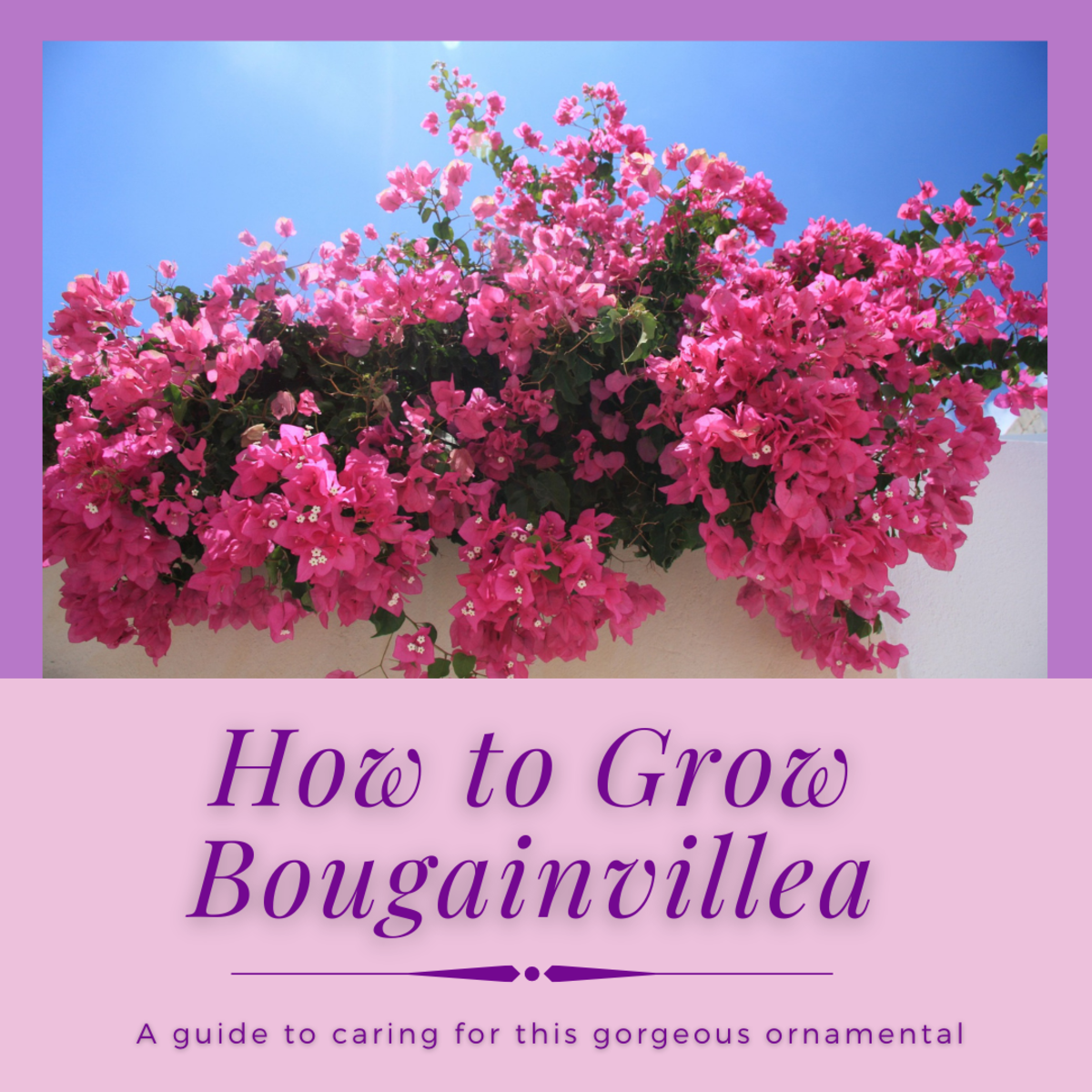 This article will provide you with all the information you need to grow gorgeous, bountiful bougainvillea flowers.