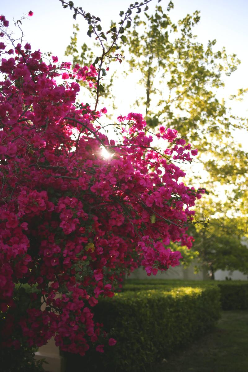 Light pouring through some bougainvillea flowers.
