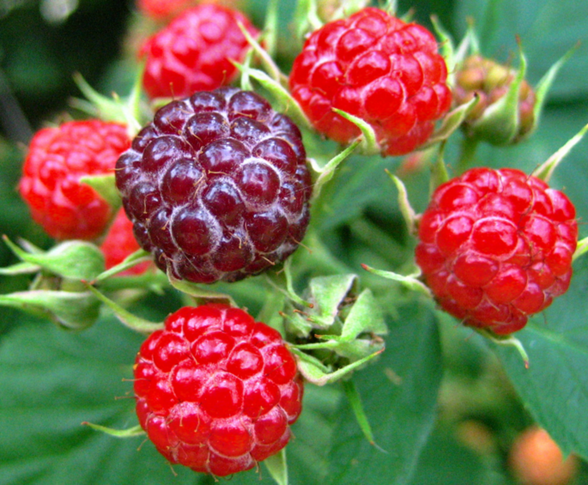 how-to-keep-birds-off-berries