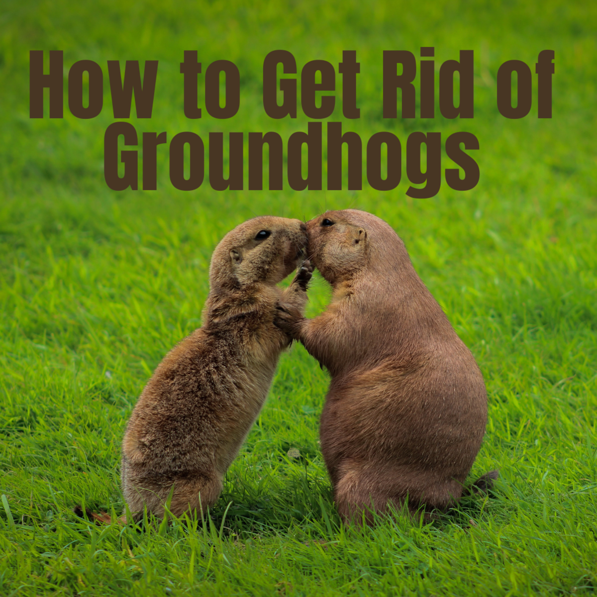 Learn how to get rid of groundhogs forever.