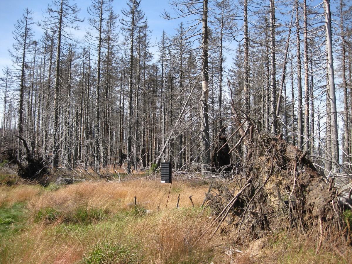 Dead wood trees due to acid rain