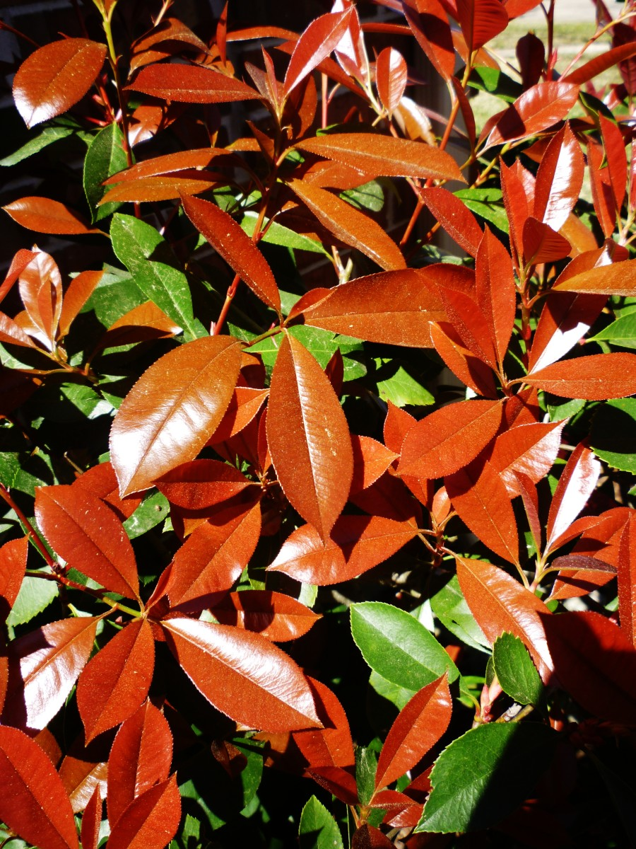 Red tip photinias in the Spring of the year.