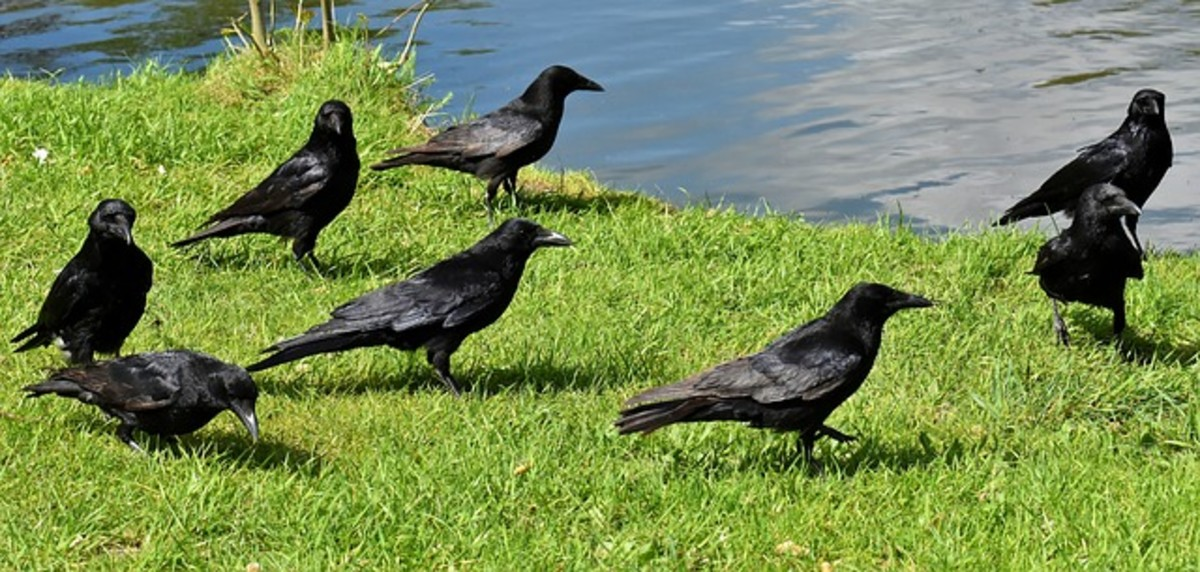 facts-on-the-carrion-crow