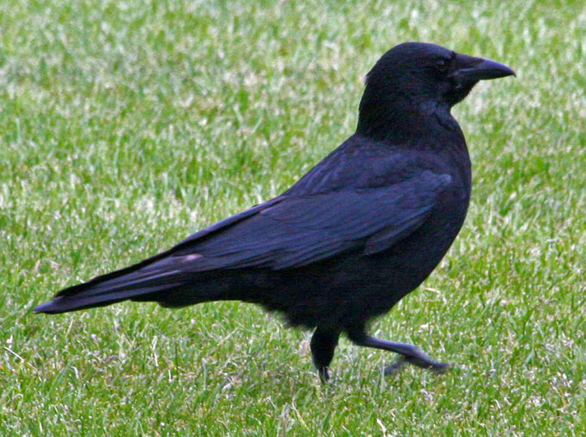 The Carrion Crow's Lifestyle
