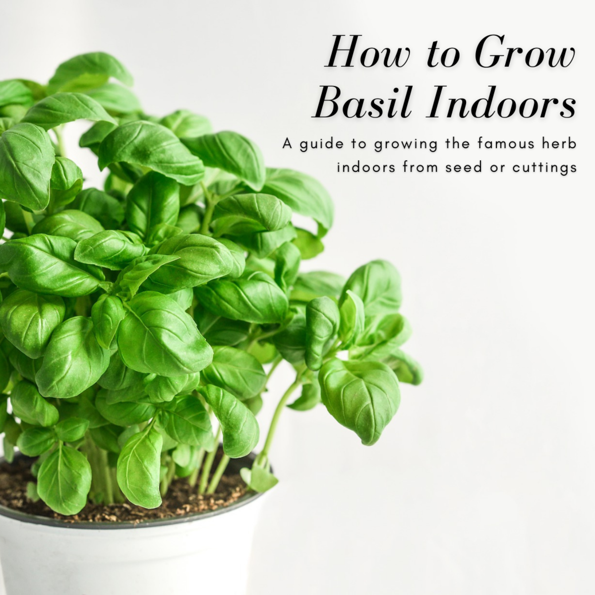 This guide will show you how to grow a delicious basil plant indoors from seed or cuttings.