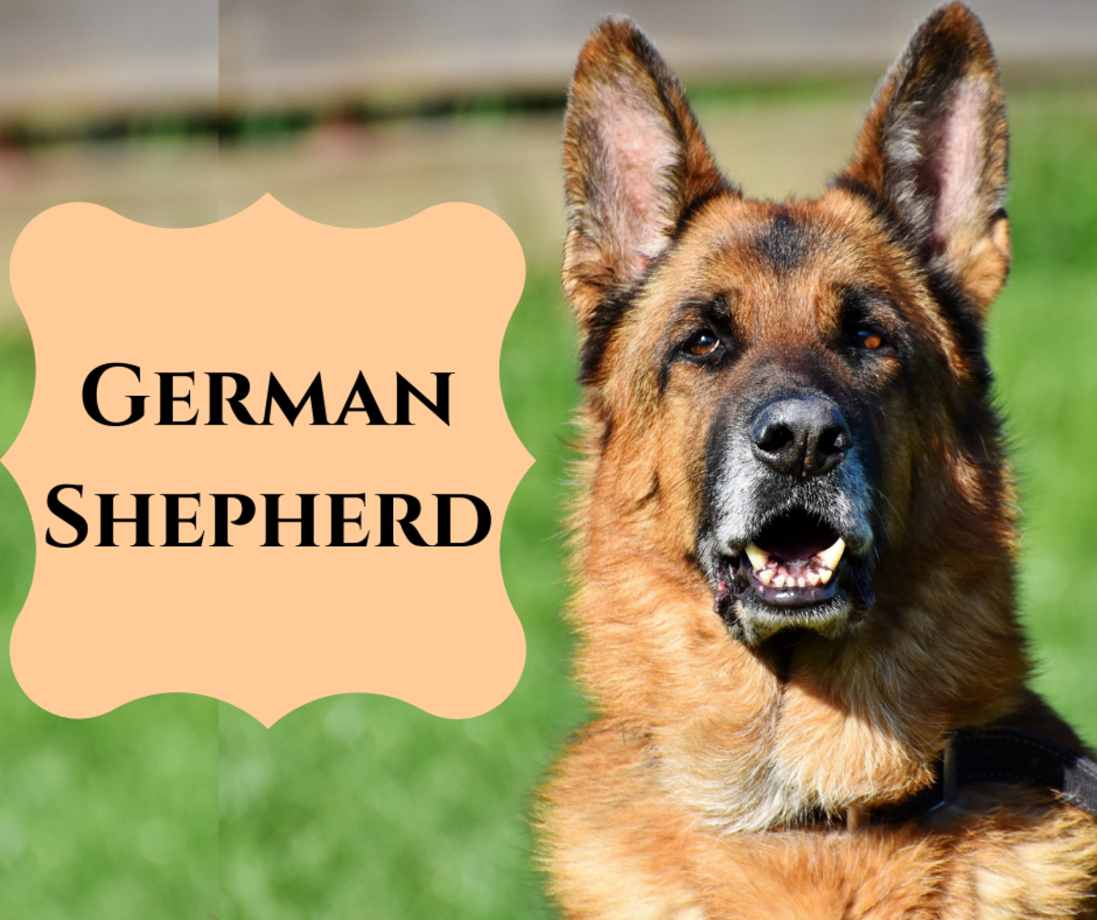 what-are-the-different-types-of-breeds-of-shepherds-and-which-is-best-for-me