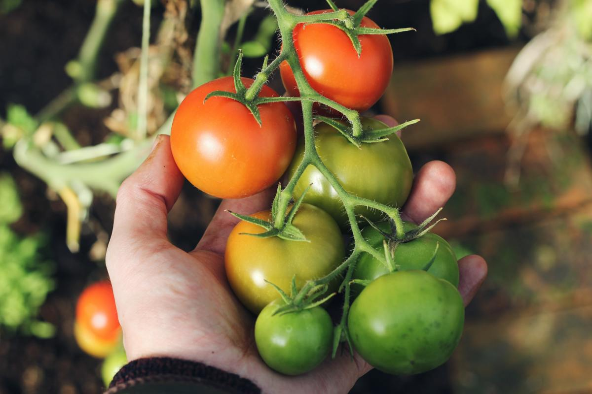 Should you grow 2 tomato plants or 10? Carefully consider your desired yield before purchasing plants.