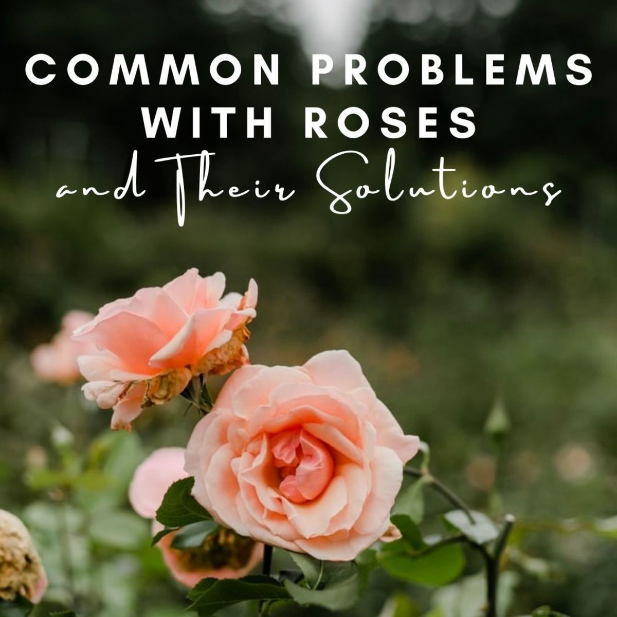 This article will help you with some of the problems you might be facing with your own roses.