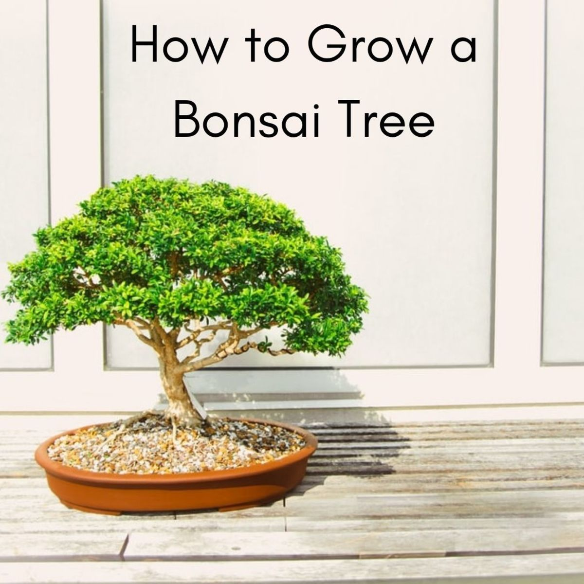 A bonsai tree is not, in fact, a dwarf tree that was bred to be small.