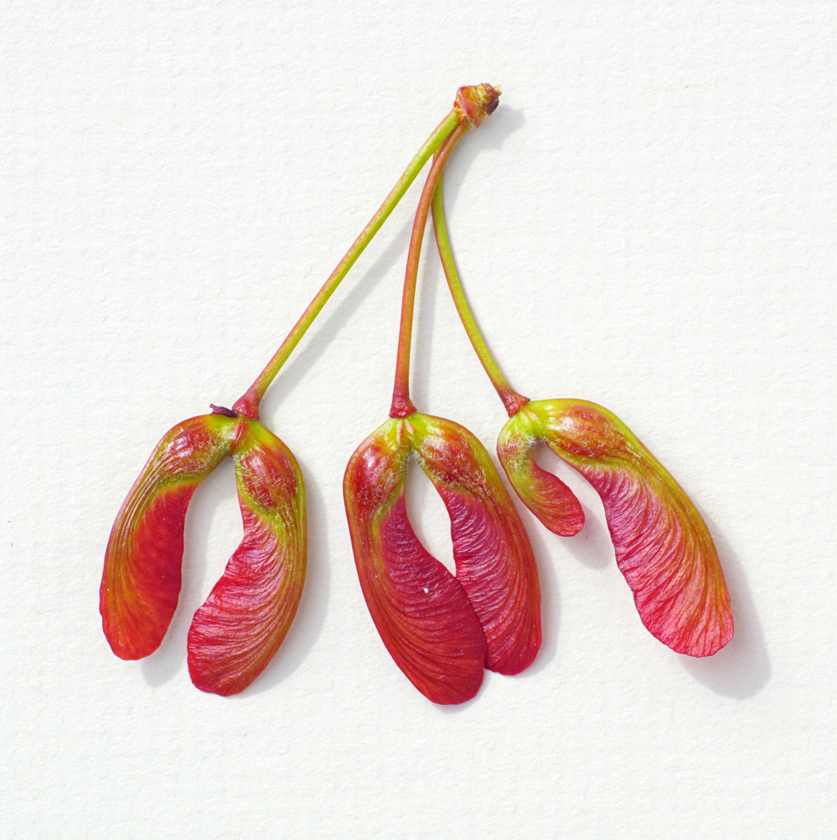 """Red Maple Seed Fruit """"Helicopters"""""""