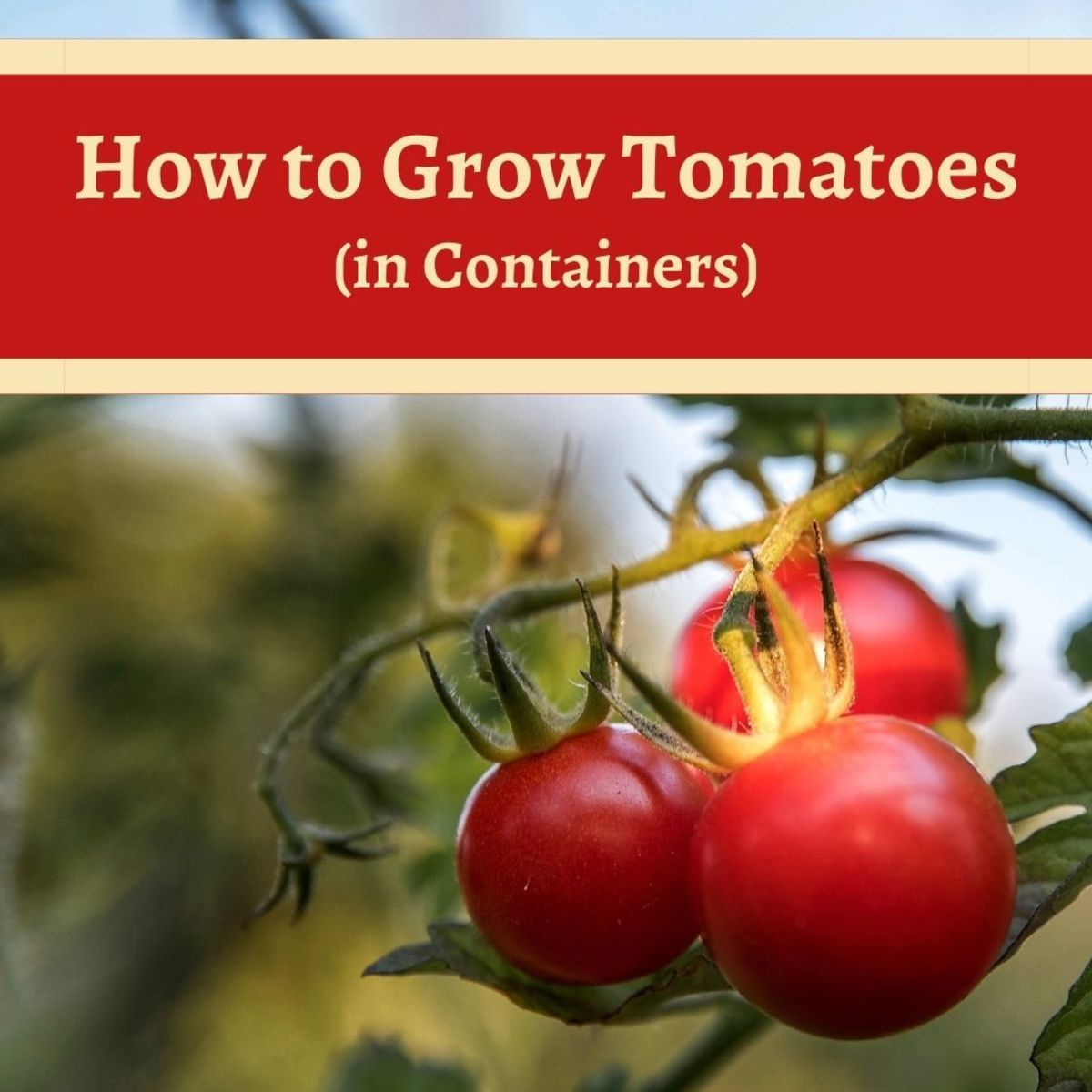 How to Grow Tomatoes in Containers: A Small Space Bumper Crop