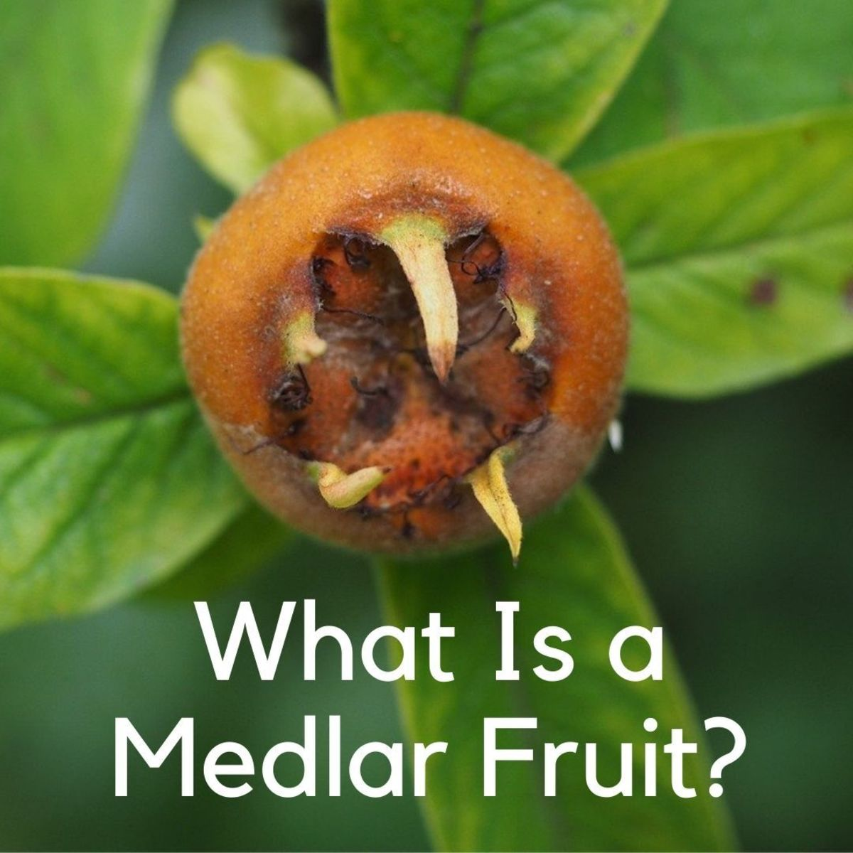 The medlar (Mespilus) belongs to the Rosaceae family.