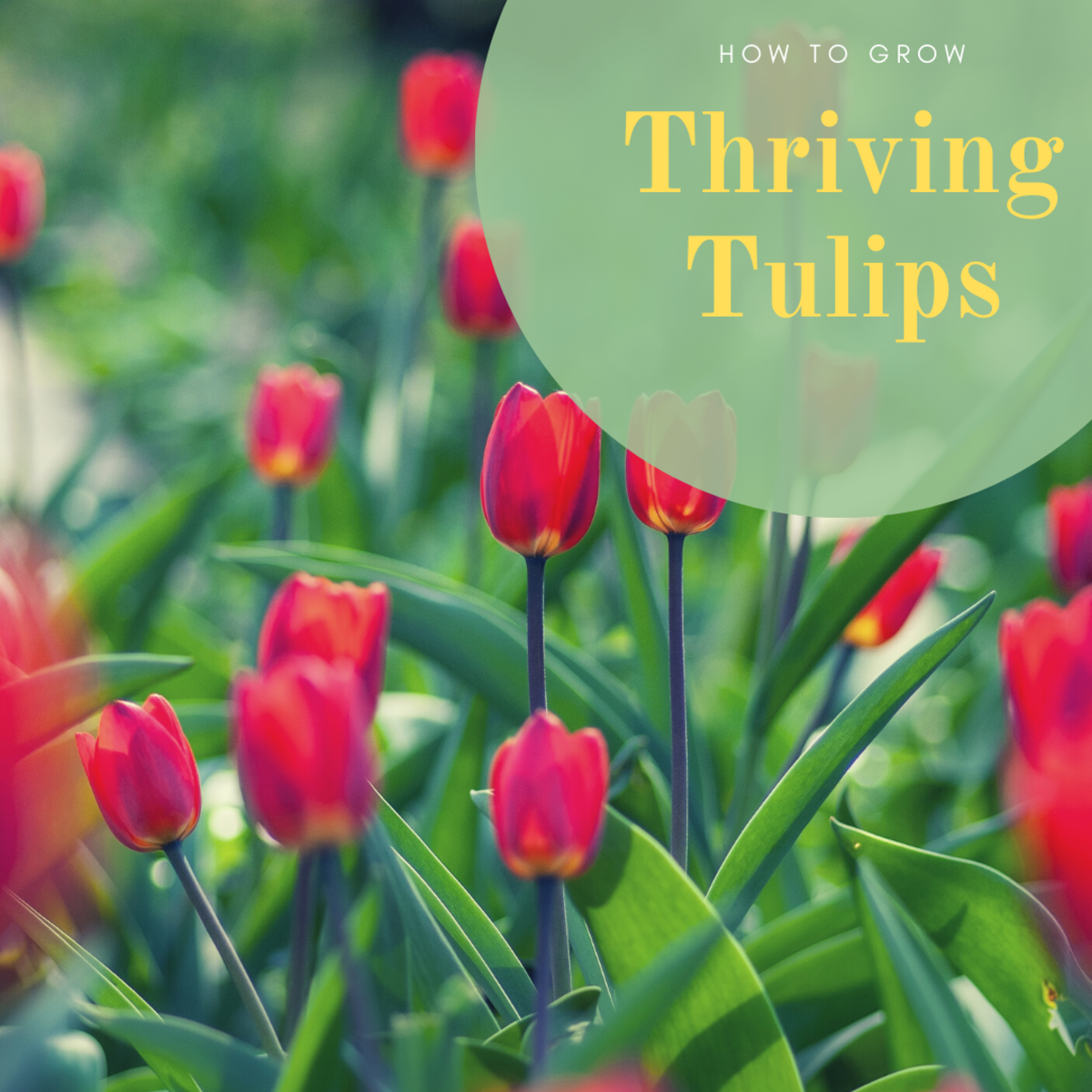 Learn how to successfully grow tulips on your own!
