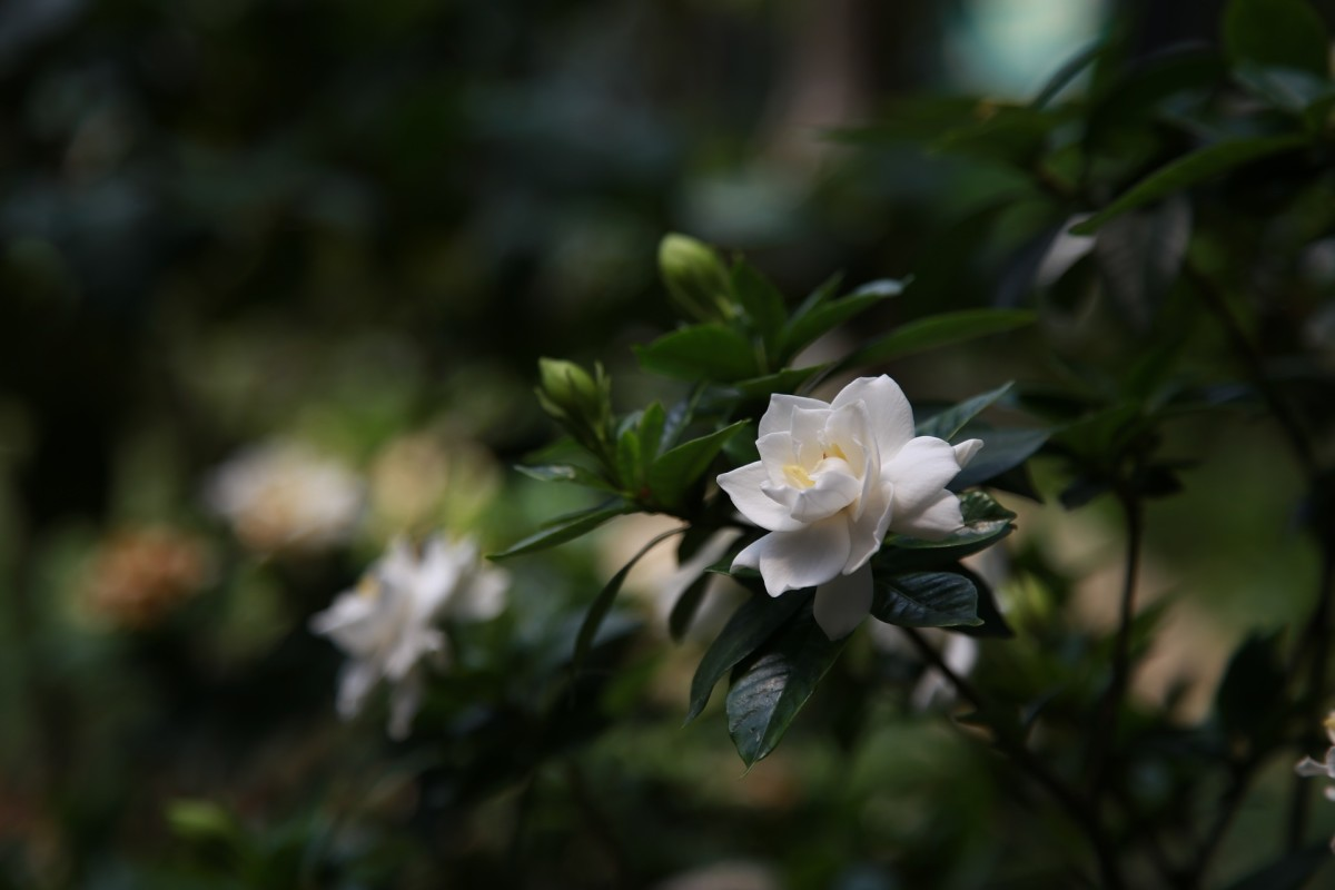 Gardenias have sedative properties.