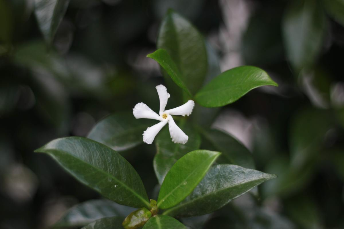 Jasmine induces better sleep resulting in more energy upon waking.