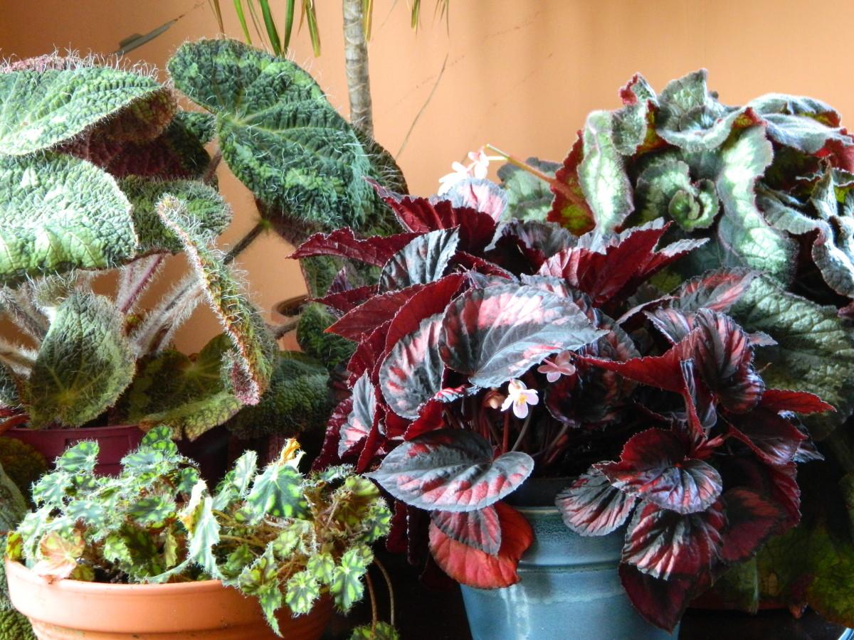 Gorgeous indoor begonias.