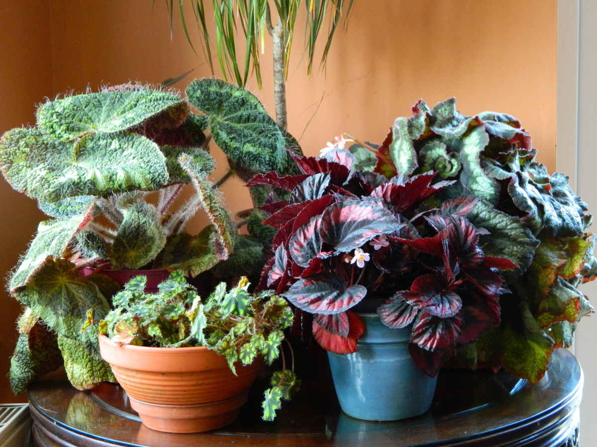 Learn how to repot indoor begonias to keep them healthy and beautiful.