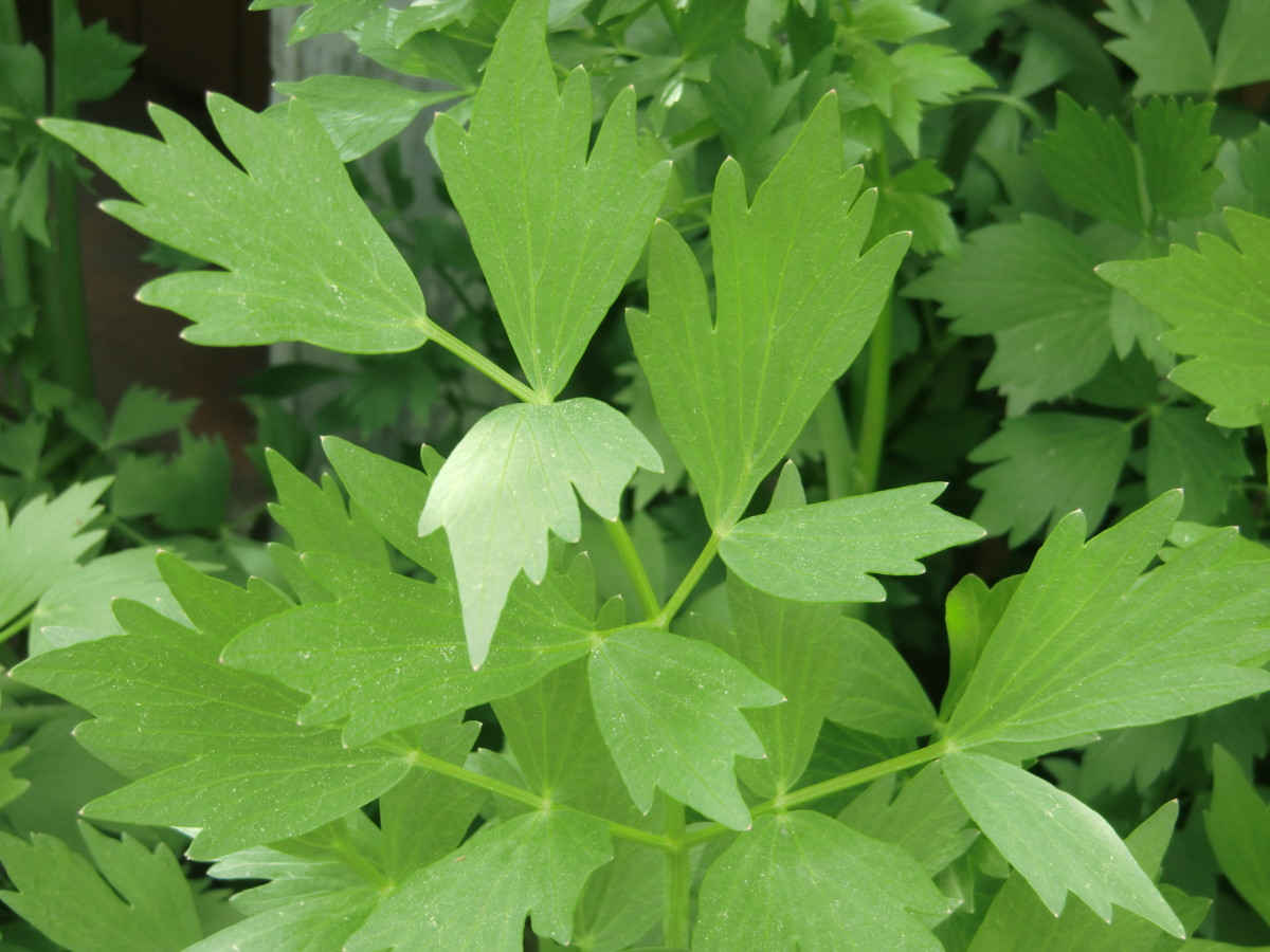 Lovage: an Old Garden Herb