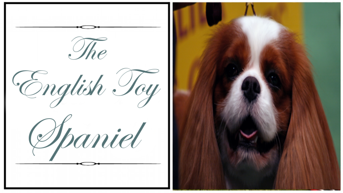 breaking-down-the-spaniel-breeds
