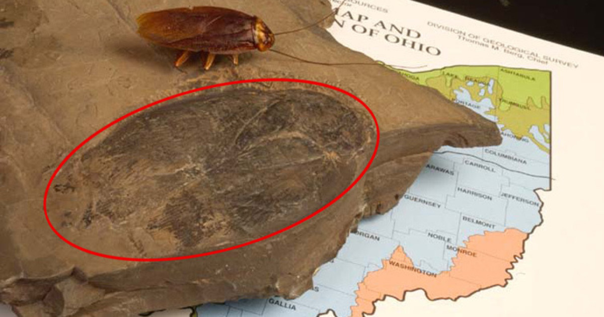 Largest complete fossil of a proto-cockroach, measuring 3.5 inches in length